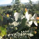 photo of Eucalyptus Fields at Continental Watsonville