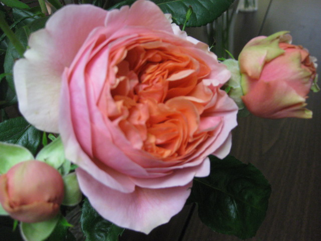 A David Austin Rose reaching a Gorgeous Opening Stage