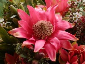 Telopia Parfait flower