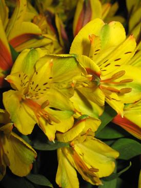Alstroemaria-Gold