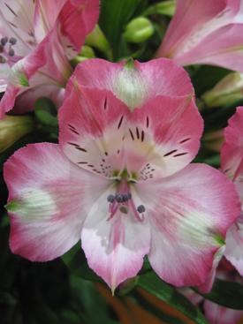 Alstroemeria-Pink-Bicolor2