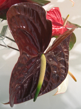 Anthurium-Brown-Choco