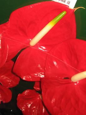 Anthurium-Red-Alexis
