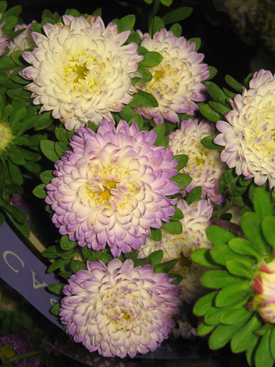 Aster-Lavender-Matsumoto
