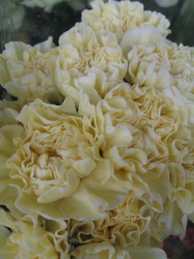 Carnation-Cream