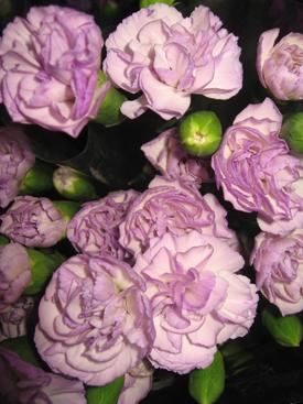 Carnation-Lavender-Moondust-Miniature-Florigene