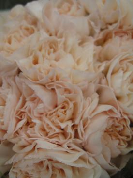 Carnation-Peach