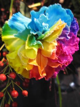 Carnation Rainbow Dyed Ubloom