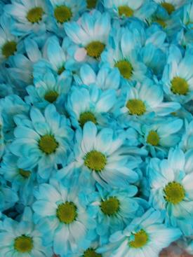 Chrysanthemum-Blue Dyed-DaisyPomPon