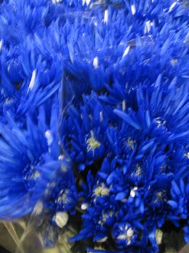 Chrysanthemum-Blue-Dyed-Fugi PomPon