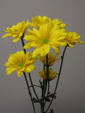 Chrysanthemum-Gold-Daisy PomPon