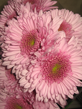 Chrysanthemum-Lavender-Cremon