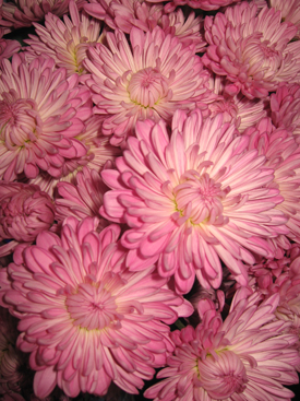 Chrysanthemum-Lavender- Cushion PomPon