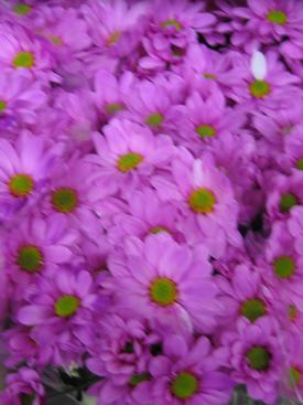 Chrysanthemum-Magenta Dyed-Daisy PomPon