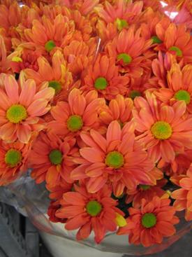 Chrysanthemum Orange Dyed Daisy Pompon Ubloom