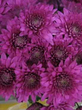 Chrysanthemum purple cushion pompon ubloom chrysanthemum purple cushion pompon mightylinksfo