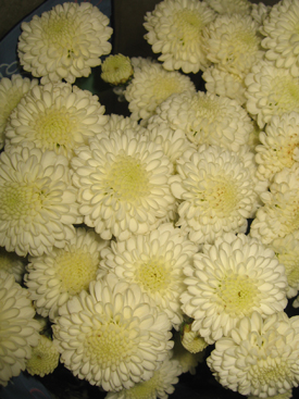 Chrysanthemum White Button Pompon Ubloom