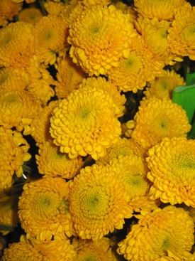 Chrysanthemum Yellow Button Pompon Ubloom