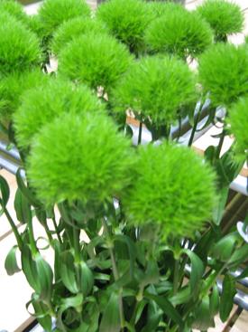 Dianthus Green Globe Green Trick - uBloom