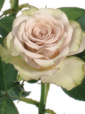 Rose-Brown-Hypnose-Eufloria