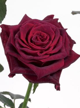 Rose Burgundy Black Baccara Ubloom