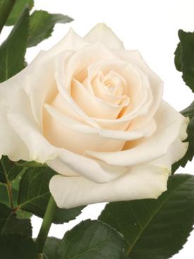 Rose-Cream-Emanuelle-Eufloria