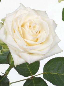 Rose-Cream-Novia-Eufloria