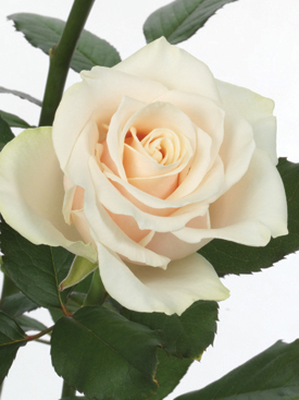 Rose Cream Talea Ubloom
