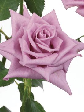 Rose Lavender Delilah Ubloom