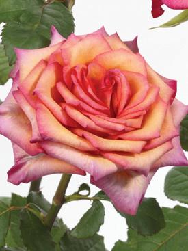 Rose-Peach-RazzleDazzle-Bicolor-Eufloria