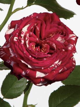 Rose-Red-Ranuncula-Bicolor-Eufloria