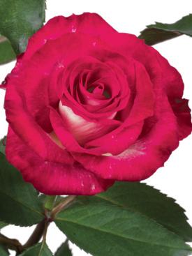 Rose-Red-Shanty-Bicolor-Eufloria