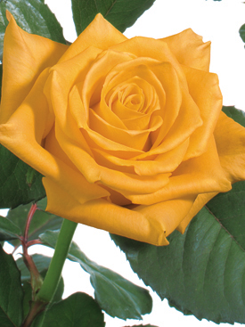 Rose-Yellow-Brasil-Eufloria