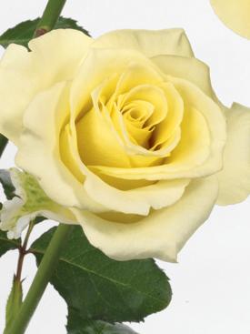 Rose-Yellow-Citronella-Eufloria