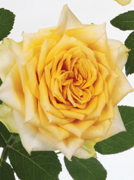 Rose-Yellow-CoupSoleil-Eufloria