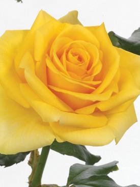 Rose-Yellow-GoldStrike-Eufloria