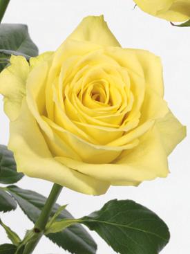 Rose-Yellow-Kronos-Eufloria