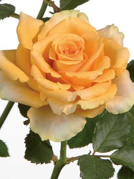 Rose-Yellow-Riverdale-Eufloria