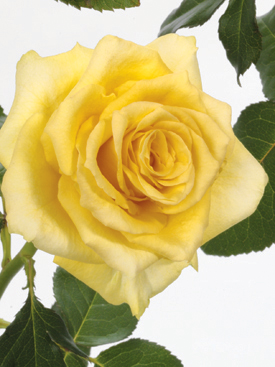 Rose-Yellow-Suela-Eufloria