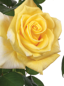 Rose-Yellow-YellowIsland-Eufloria