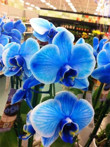 Blue orchids love em or ubloom
