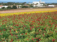 Bands of Flowers and Color at the Carlsbad Flower Fields