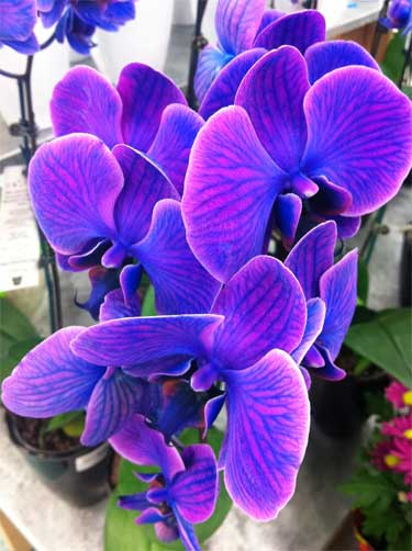 Blue Orchids Love Em Or Ubloom