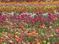 The CA Grown Experience on uBlooom Visits The Carlsbad Flower Fields