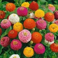 Zinnias photo by Outside Pride