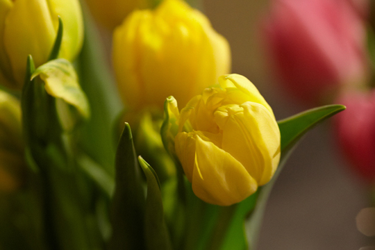 A Visit to Tulip Time in Holland Michigan