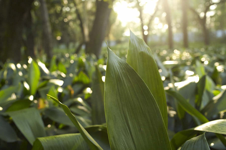 Aspidistra leaves growing at Ronald Jones Ferneries