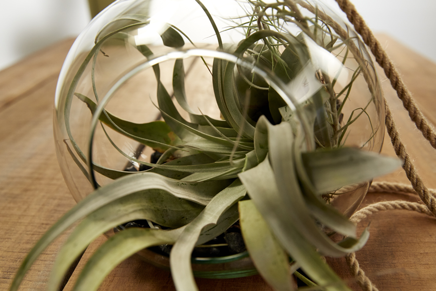 Tillandsia from Garden's America are starring in the Week's Fun with Flowers and J Episode on uBloom!