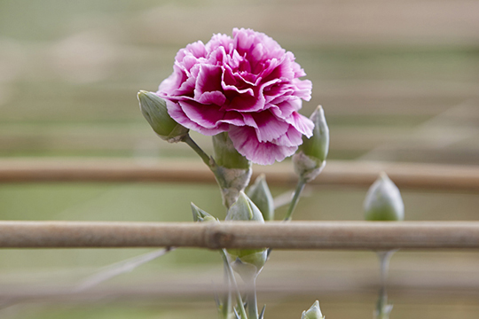 The CA Grown Experience_The Quest for an American Grown Carnation