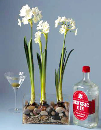 Pass the gin its for the paperwhites really ubloom stunt their growth with gin mightylinksfo Images